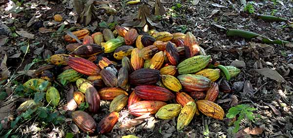 cacao pods picture